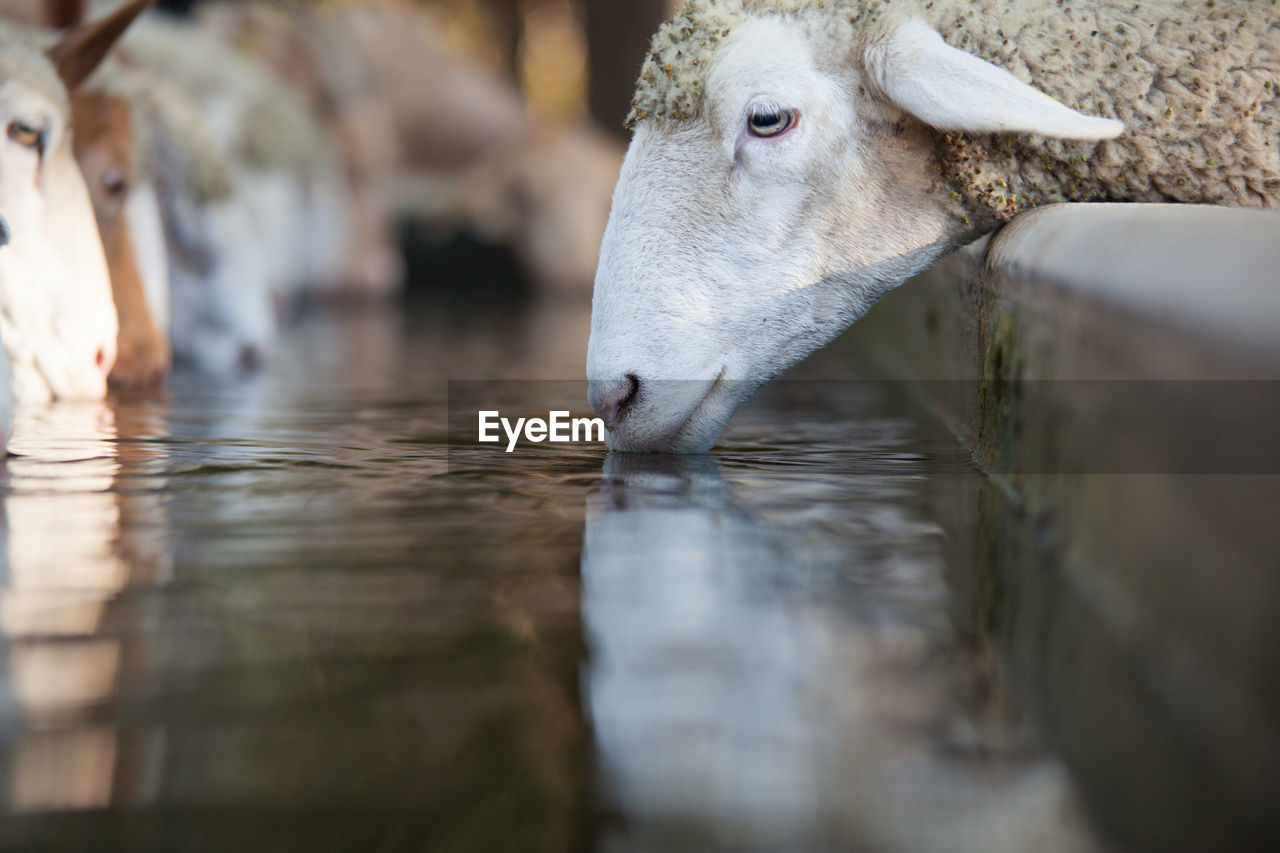 Close-Up Of Sheeps Drinking Water At Ranch