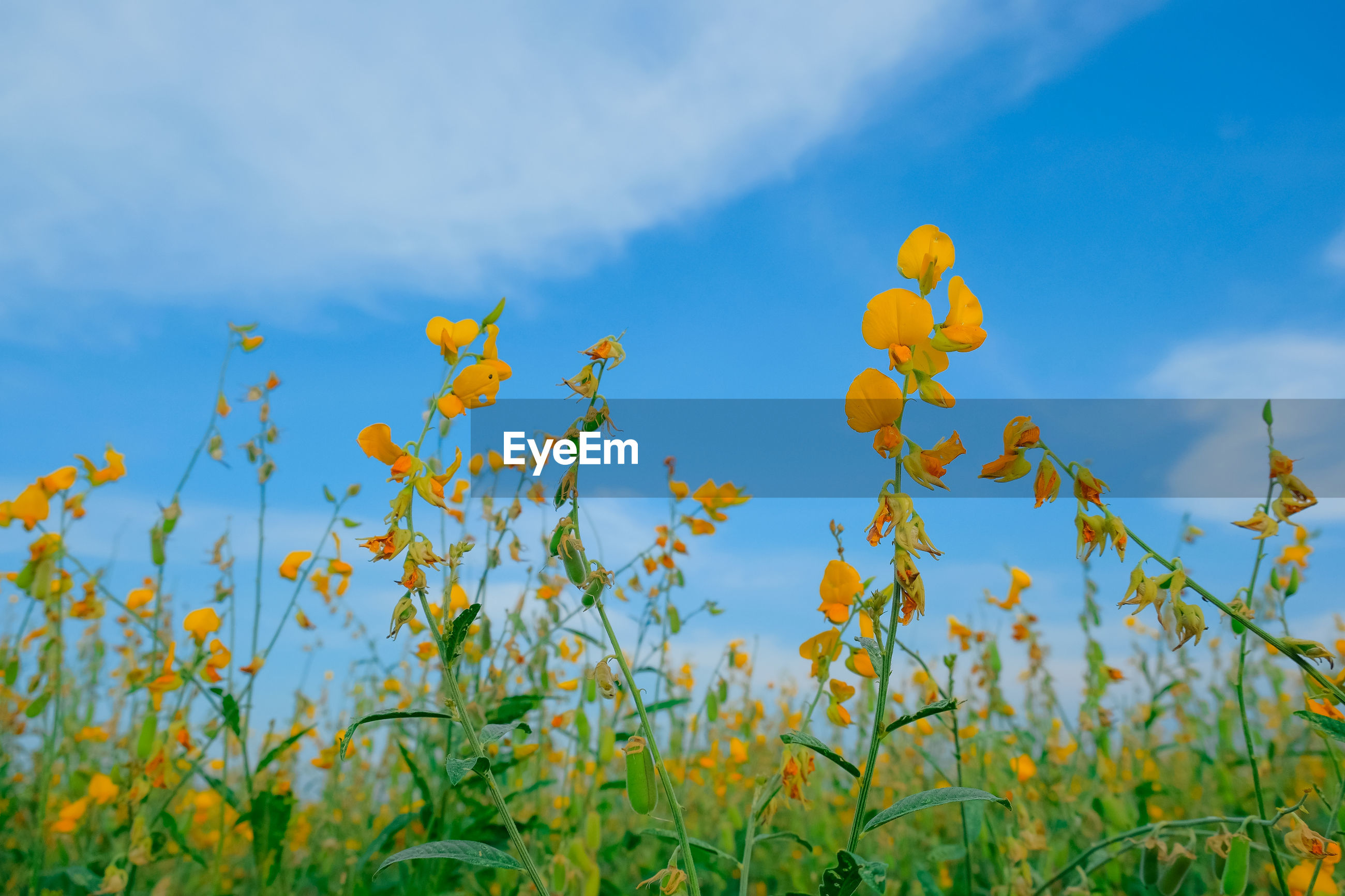 LOW ANGLE VIEW OF YELLOW FLOWERING PLANT ON FIELD AGAINST SKY