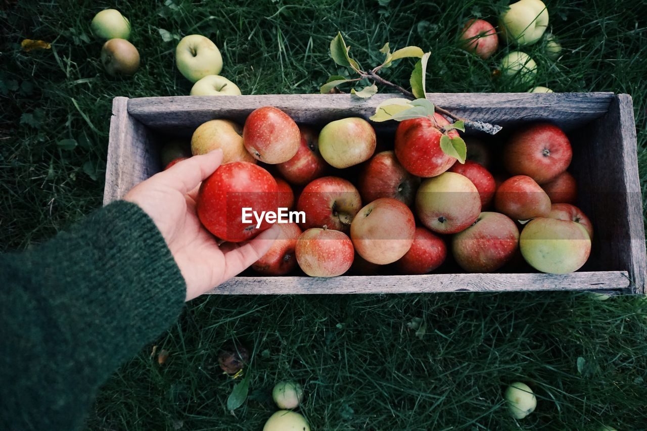 Cropped Hand Holding Apple In Orchard On Grassy Field