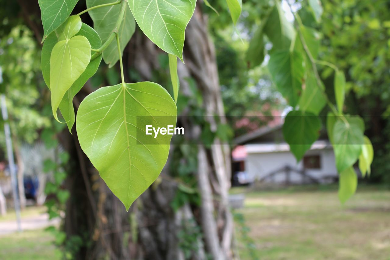 leaf, plant part, plant, green color, growth, focus on foreground, nature, tree, day, no people, beauty in nature, close-up, outdoors, selective focus, leaves, sunlight, tranquility, land, freshness, branch