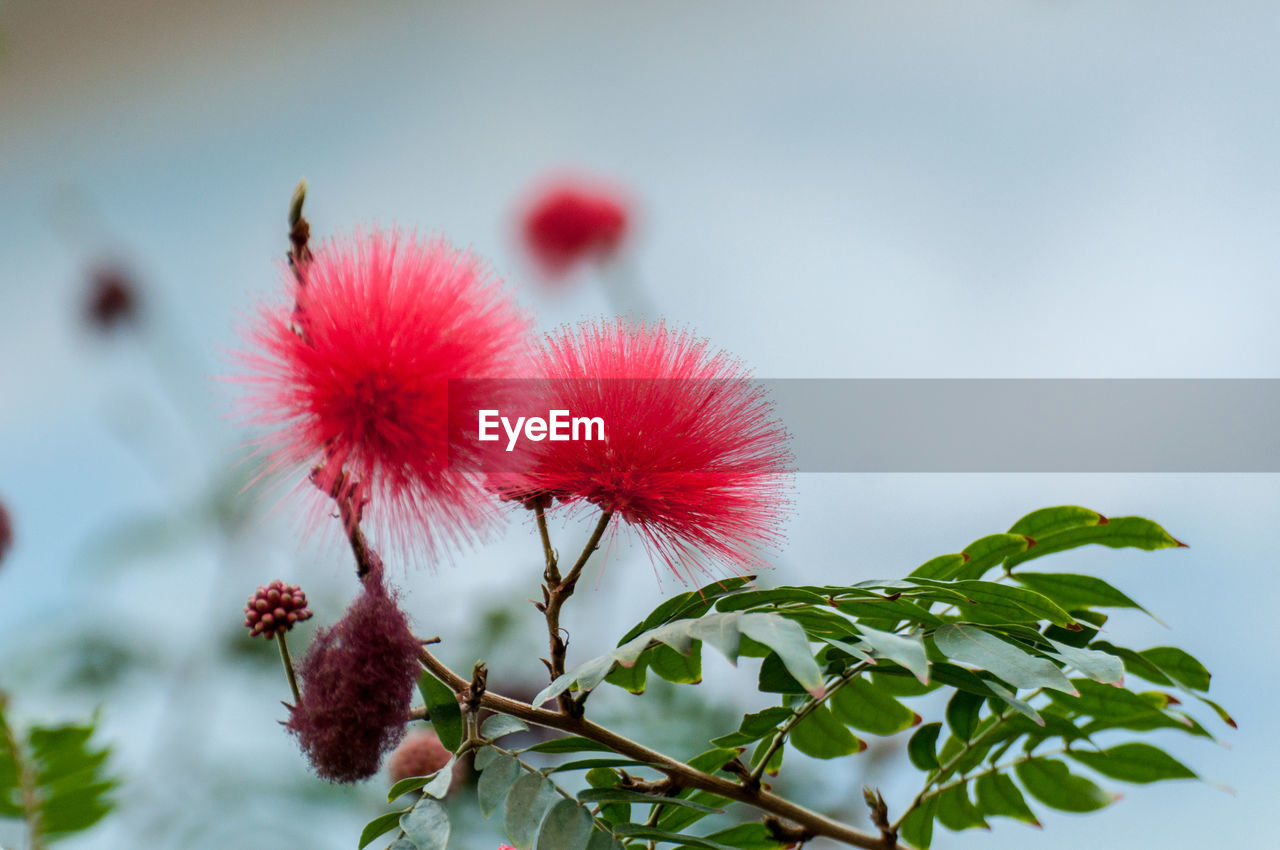flower, fragility, growth, plant, freshness, flower head, nature, focus on foreground, beauty in nature, close-up, no people, red, day, outdoors, sky