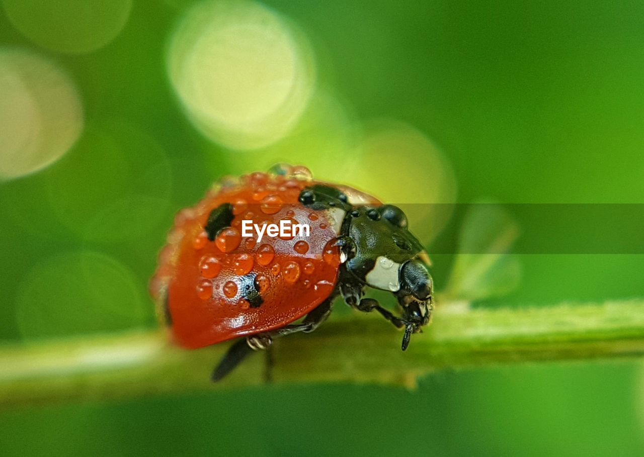 animal themes, animal, animals in the wild, animal wildlife, one animal, insect, close-up, invertebrate, beetle, selective focus, day, no people, ladybug, focus on foreground, red, nature, orange color, green color, plant, outdoors, small
