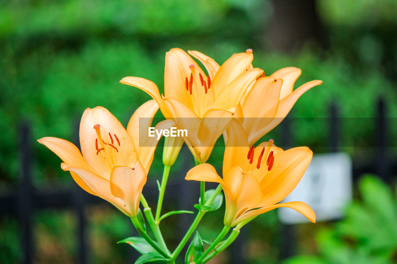 flowering plant, flower, plant, fragility, vulnerability, close-up, beauty in nature, freshness, petal, yellow, growth, focus on foreground, flower head, inflorescence, orange color, day, no people, nature, leaf, lily, outdoors, pollen