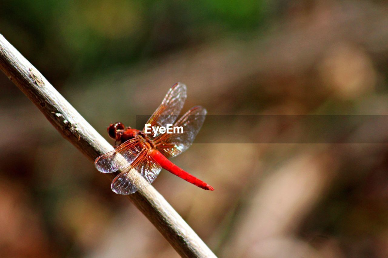 insect, animals in the wild, animal themes, one animal, close-up, focus on foreground, no people, nature, outdoors, day, red, animal wildlife, beauty in nature