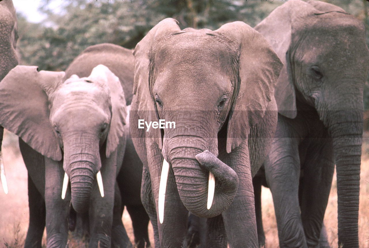 Elephants In Forest