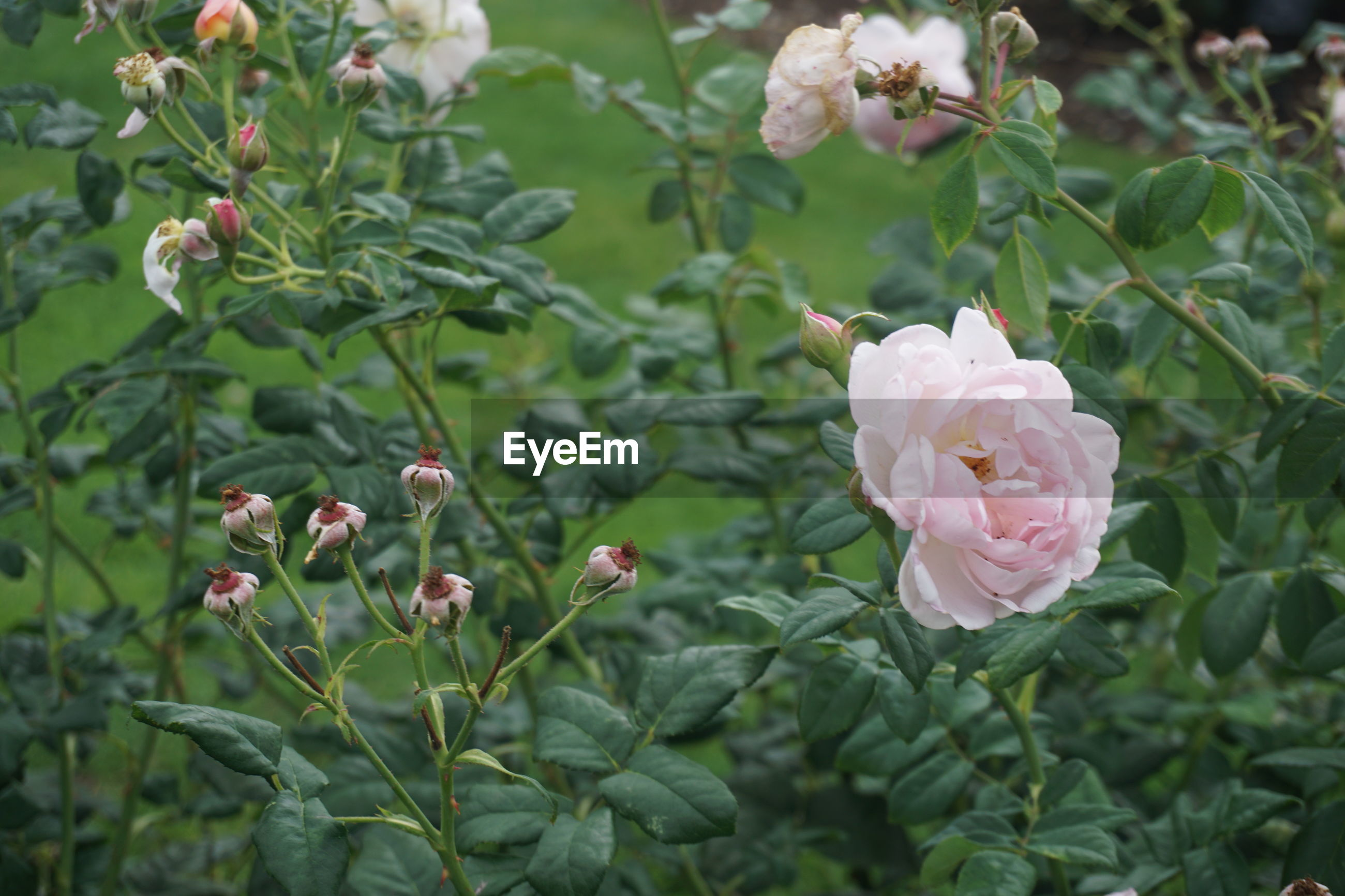 CLOSE-UP OF PINK ROSE IN PLANT