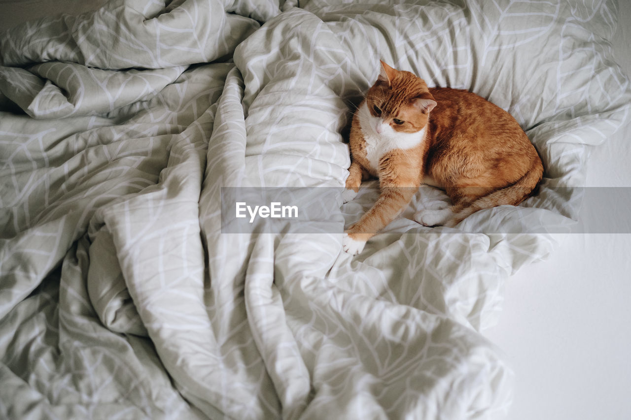 High angle view of a red cat relaxing on bed