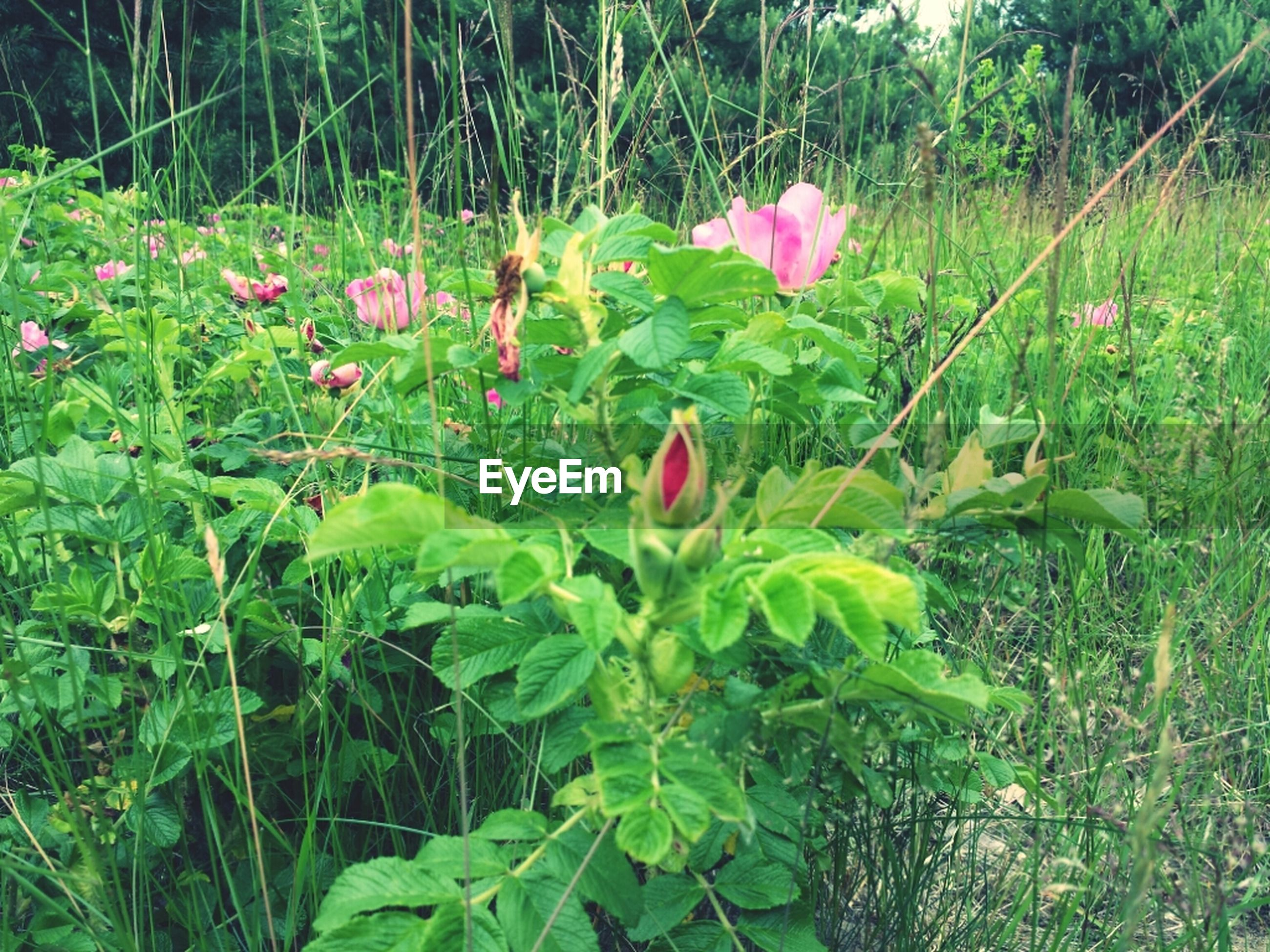 growth, flower, freshness, green color, plant, beauty in nature, field, nature, fragility, grass, leaf, red, blooming, petal, tranquility, day, stem, green, outdoors, growing