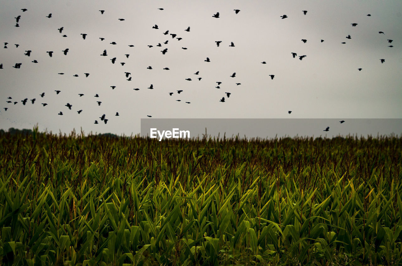 sky, field, large group of animals, flying, land, nature, beauty in nature, landscape, plant, animal, animal themes, agriculture, animal wildlife, flock of birds, animals in the wild, group of animals, bird, vertebrate, rural scene, farm, no people, outdoors