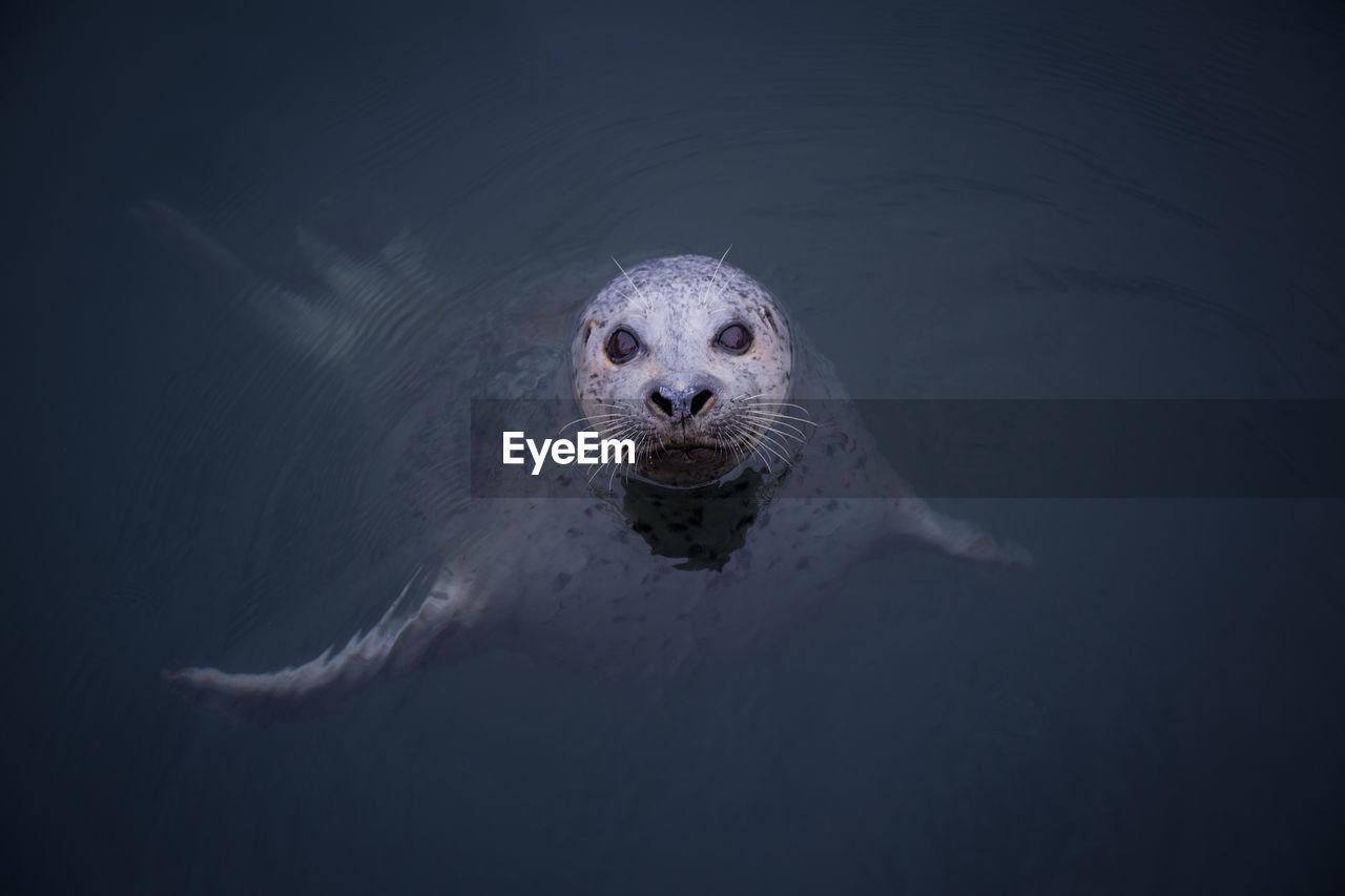 Portrait Of Seal Swimming In Sea