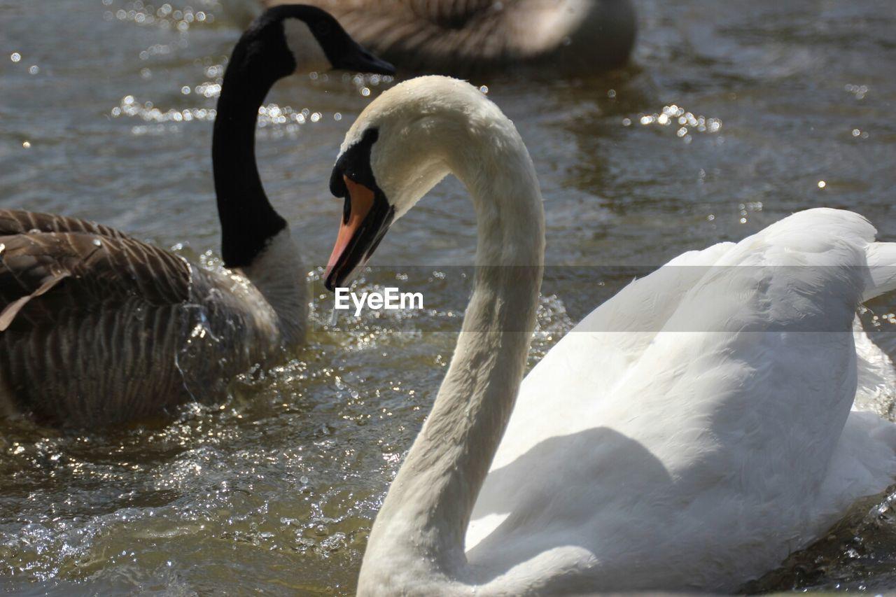 swan, animals in the wild, animal themes, bird, water, lake, beak, water bird, swimming, one animal, white color, animal wildlife, no people, nature, day, cygnet, floating on water, black swan, outdoors, close-up