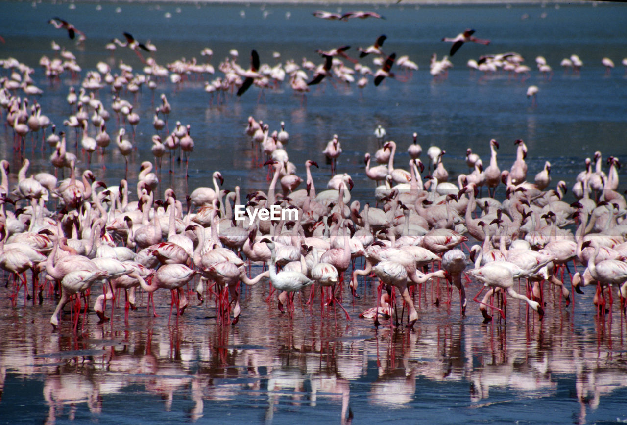 Flamingoes With Reflections In Calm Sea