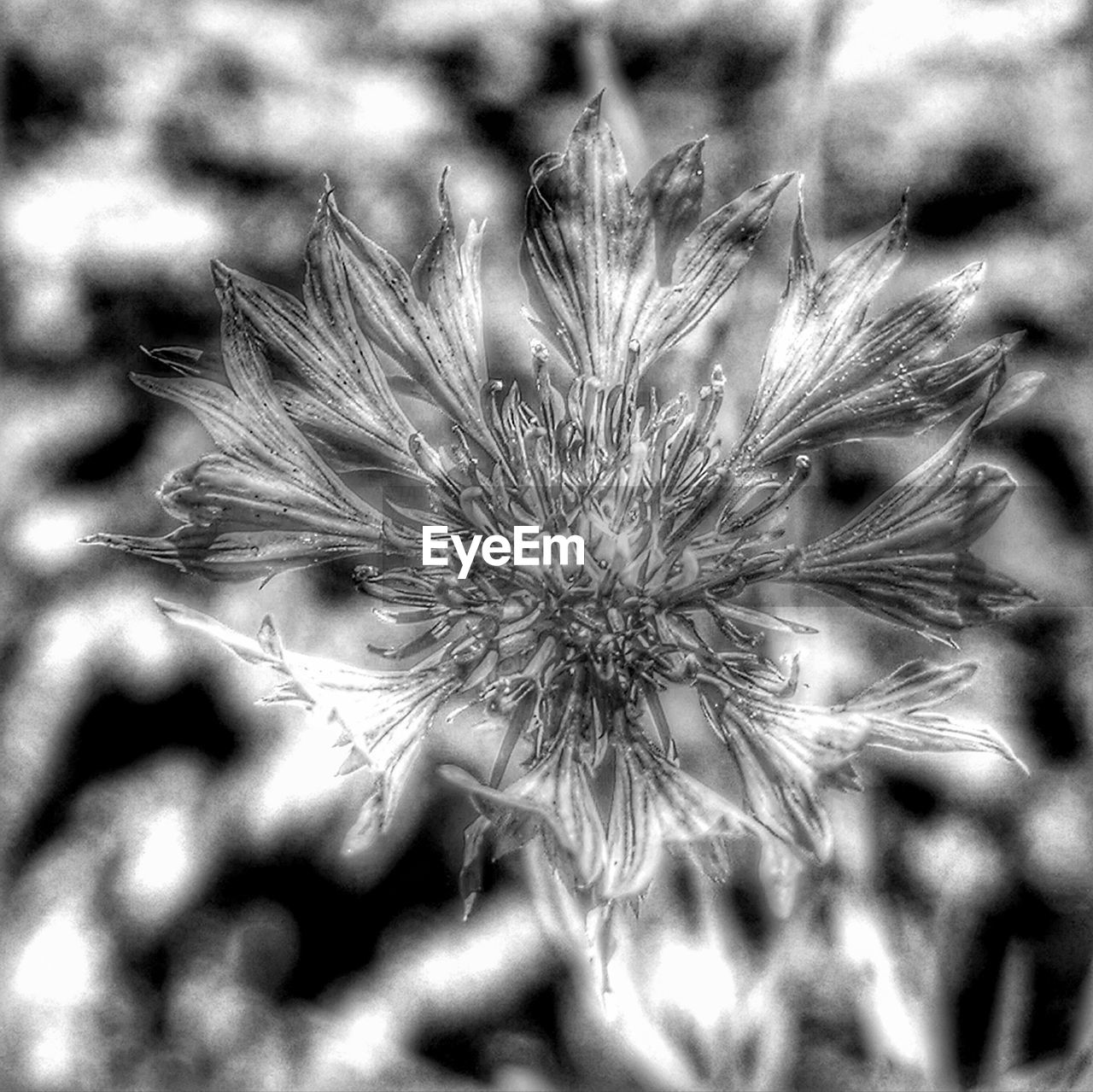 flower, flowering plant, fragility, vulnerability, plant, beauty in nature, freshness, growth, close-up, nature, no people, inflorescence, day, focus on foreground, dandelion, flower head, selective focus, tranquility, field, outdoors, softness, pollen, dandelion seed, focus