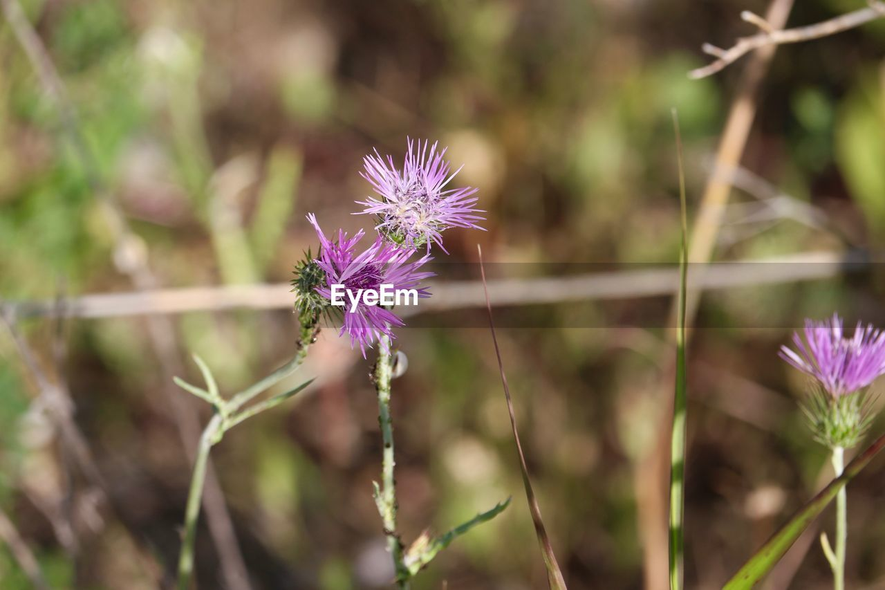 flower, purple, nature, fragility, petal, plant, flower head, beauty in nature, growth, day, outdoors, focus on foreground, no people, freshness, blooming, close-up, thistle