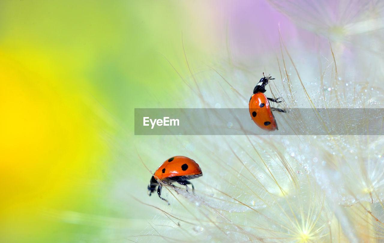 Close-up of ladybugs on flower