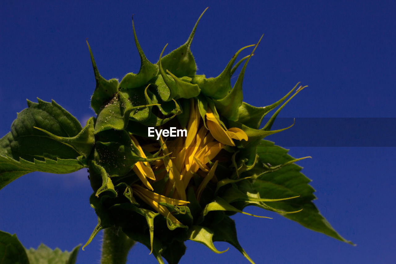 green color, growth, plant, nature, beauty in nature, no people, leaf, flower, outdoors, close-up, day, freshness, blue, sunflower, fragility, low angle view, clear sky, flower head, sky