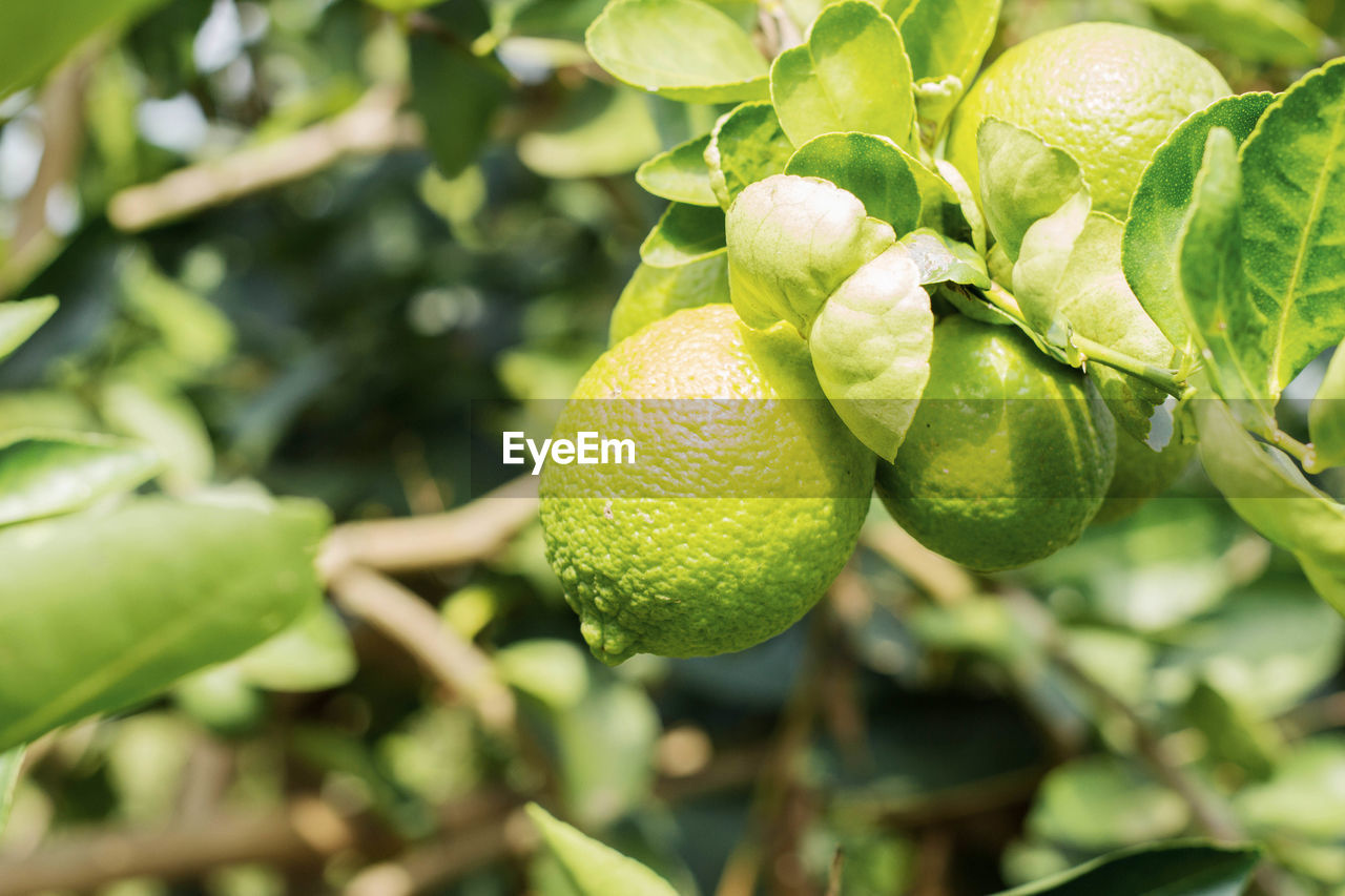 food, food and drink, fruit, freshness, growth, healthy eating, plant, close-up, leaf, plant part, green color, citrus fruit, tree, nature, focus on foreground, wellbeing, no people, day, fruit tree, agriculture, outdoors, ripe, orange