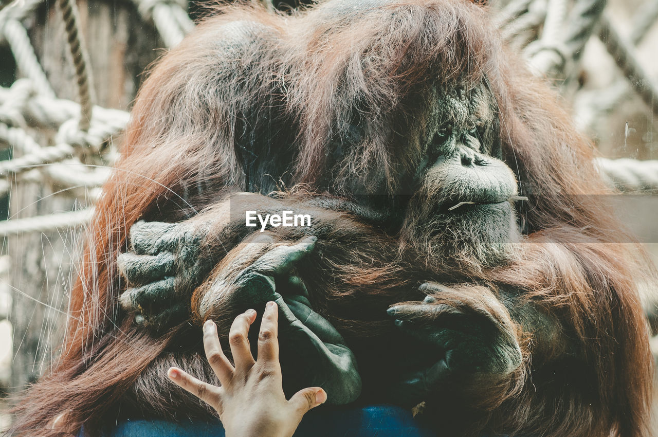 Cropped image of hand touching glass window against orangutan in zoo