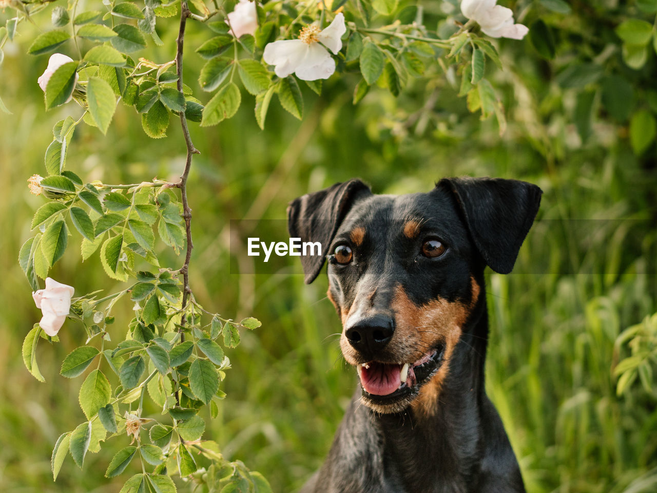 one animal, dog, canine, domestic animals, animal themes, domestic, pets, mammal, animal, vertebrate, focus on foreground, portrait, plant, no people, close-up, day, looking, looking at camera, animal body part, nature, animal head, outdoors, purebred dog, mouth open
