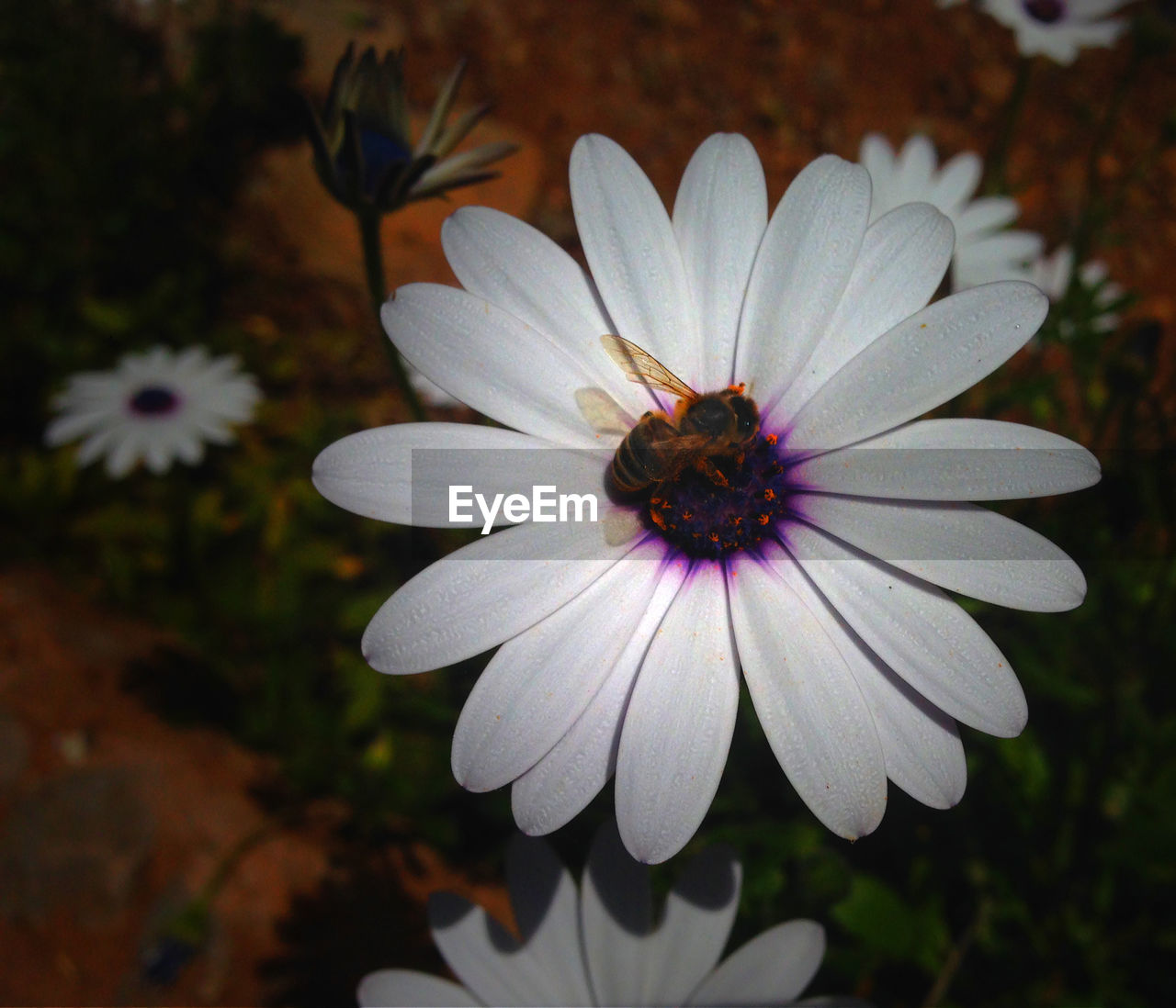 flower, petal, flower head, nature, beauty in nature, fragility, growth, blooming, freshness, pollen, osteospermum, plant, no people, day, outdoors, close-up