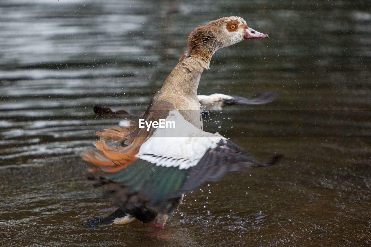 Bird Flapping Wings In Lake
