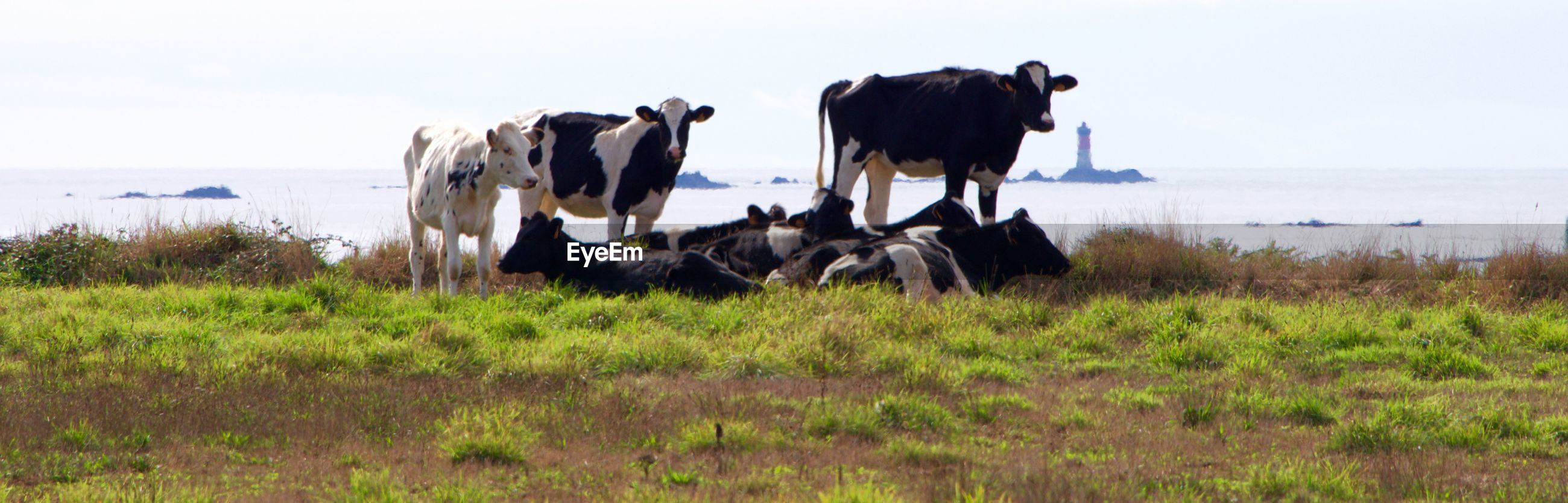 Panoramic shot of cows on field by sea against clear sky