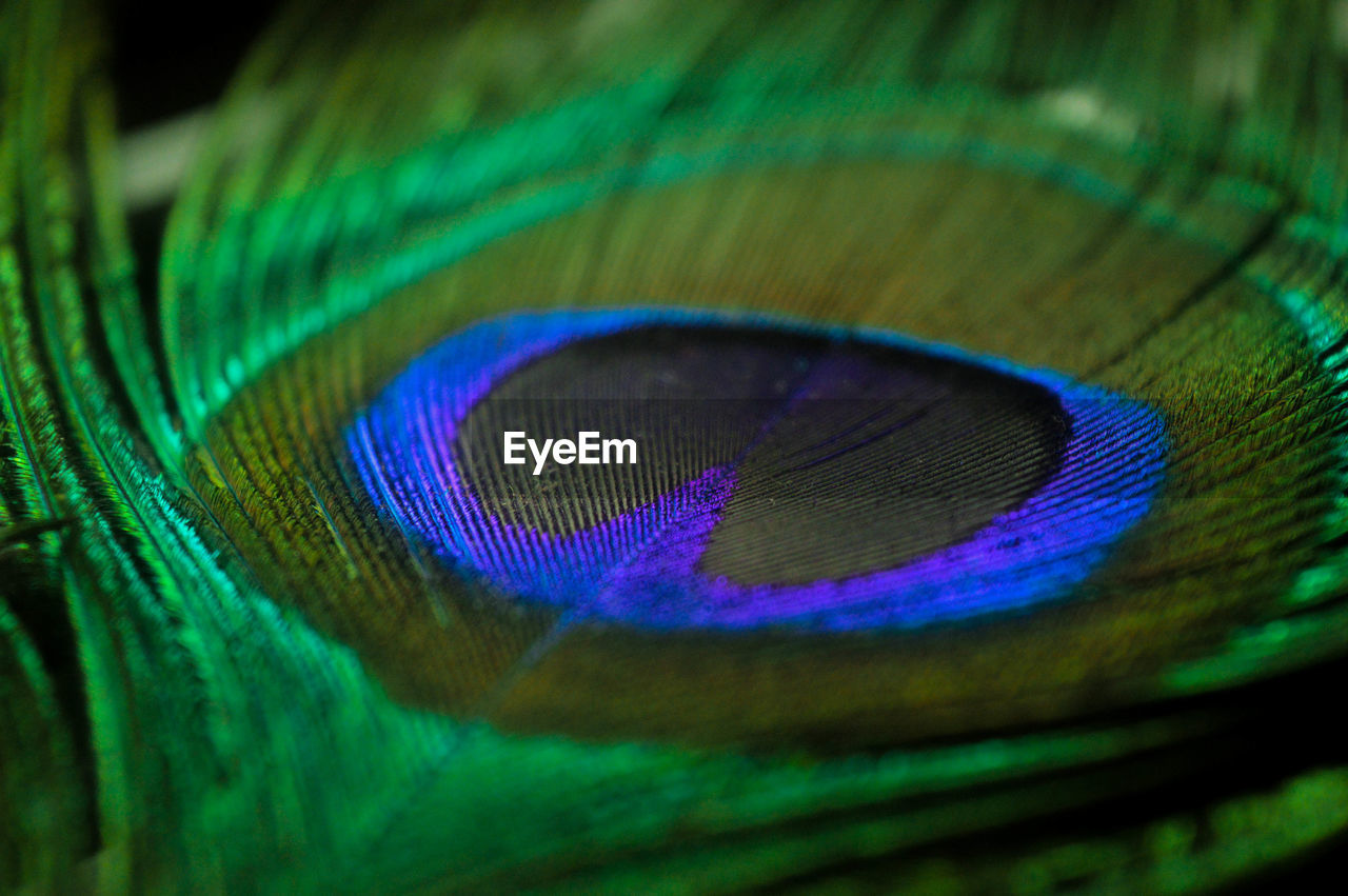 peacock, peacock feather, feather, close-up, animal themes, bird, no people, green color, one animal, beauty in nature, blue, fragility, nature, outdoors, day, fanned out