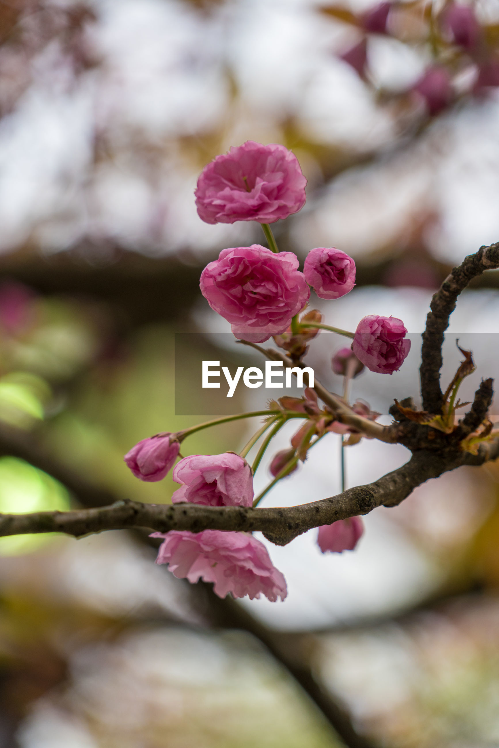CLOSE-UP OF PINK CHERRY BLOSSOM TREE