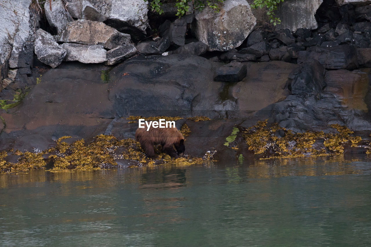 one animal, animal themes, rock - object, water, mammal, animals in the wild, animal wildlife, bear, nature, no people, outdoors, river, waterfront, day, standing