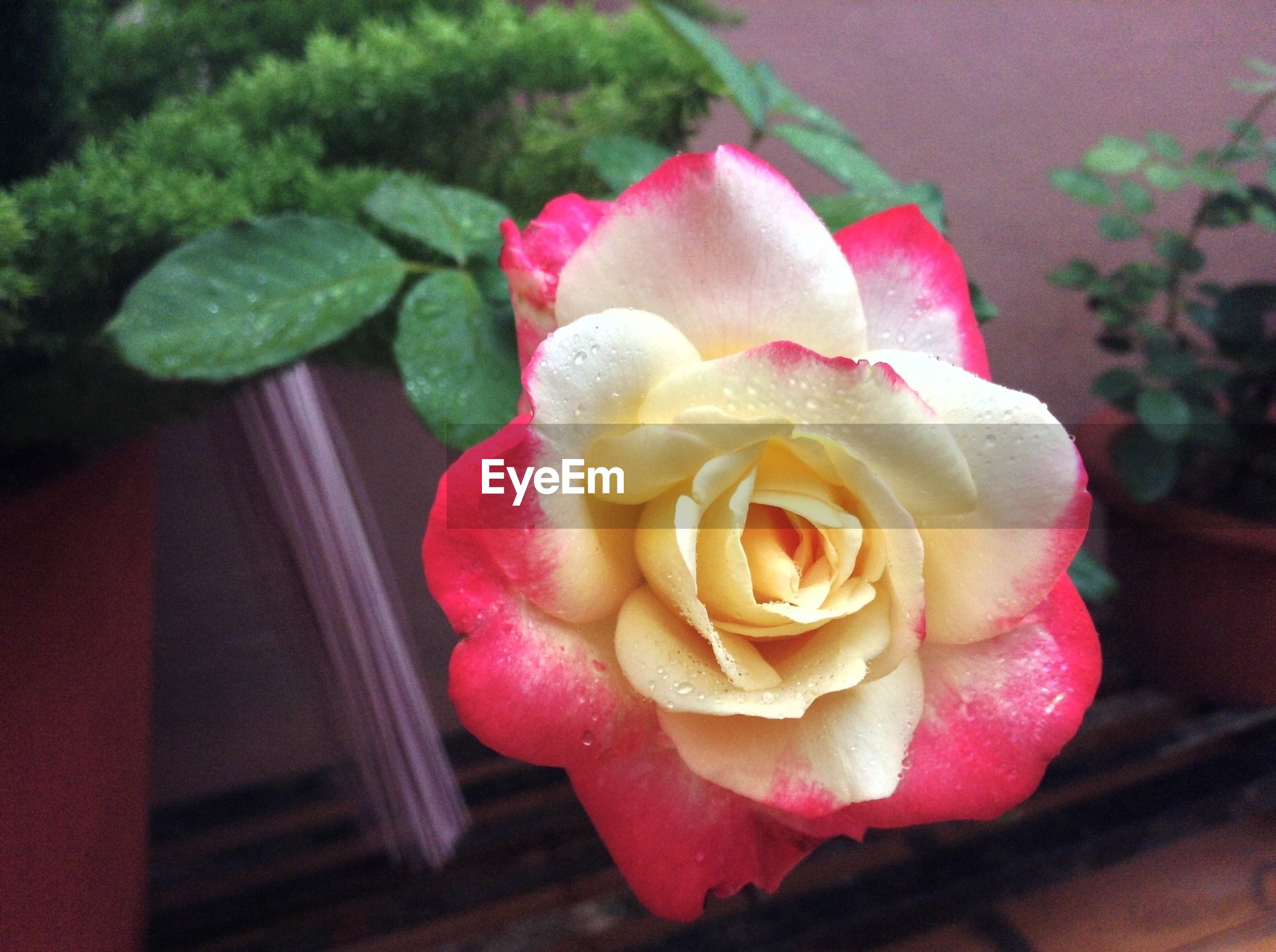 flower, petal, rose - flower, flower head, freshness, fragility, close-up, beauty in nature, pink color, rose, single flower, focus on foreground, nature, growth, indoors, blooming, high angle view, plant, in bloom, water