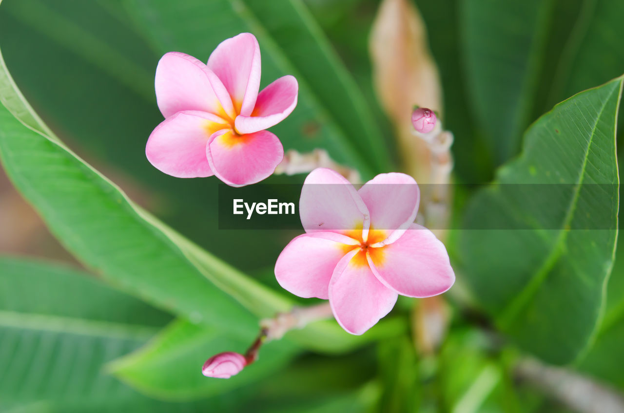 flowering plant, flower, plant, beauty in nature, fragility, vulnerability, petal, freshness, growth, flower head, inflorescence, close-up, pink color, plant part, leaf, green color, no people, nature, day, focus on foreground, outdoors