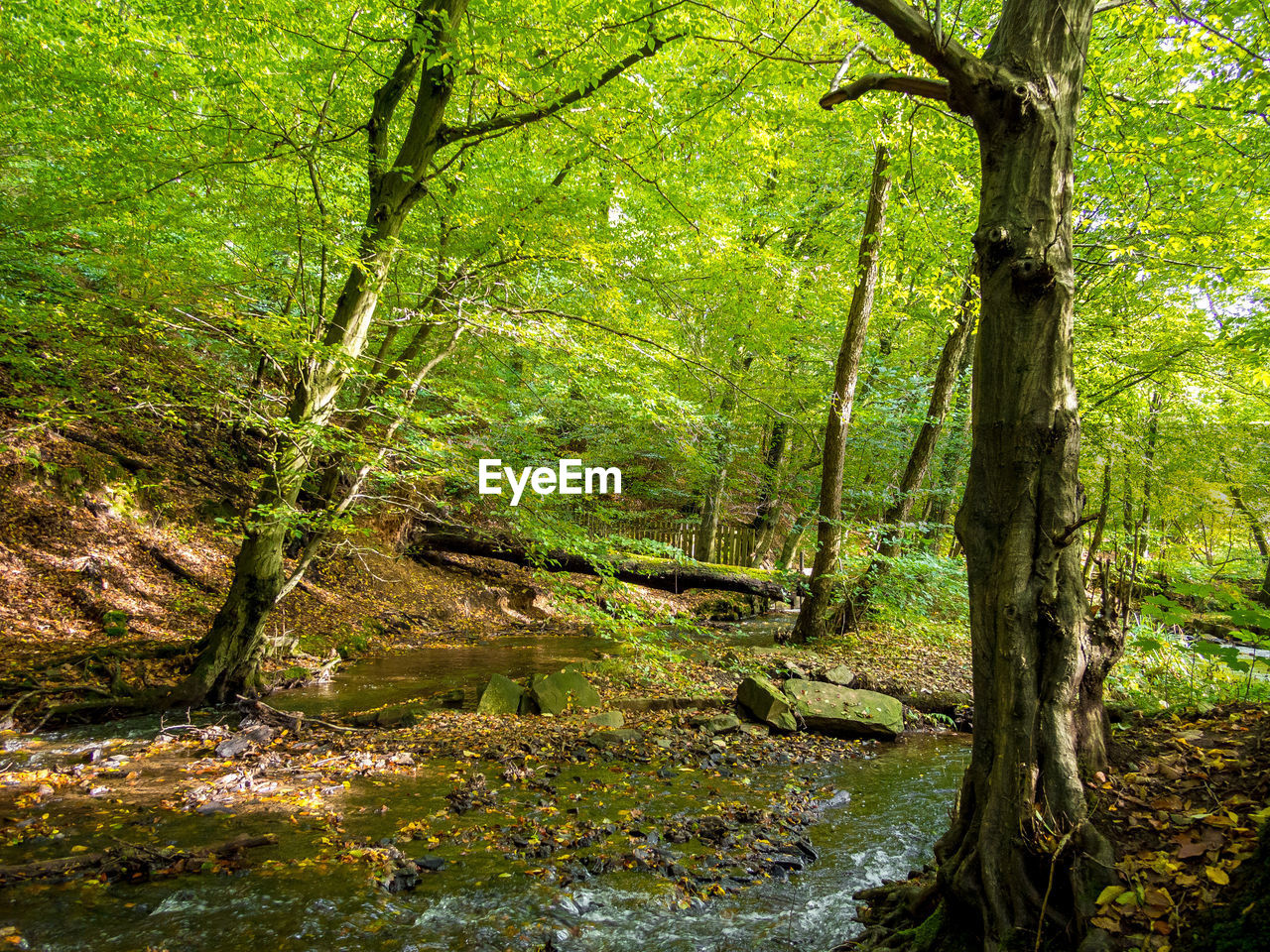 tree, forest, land, plant, water, nature, tree trunk, no people, trunk, tranquility, woodland, beauty in nature, day, green color, growth, scenics - nature, outdoors, tranquil scene, non-urban scene, stream - flowing water, swamp, flowing