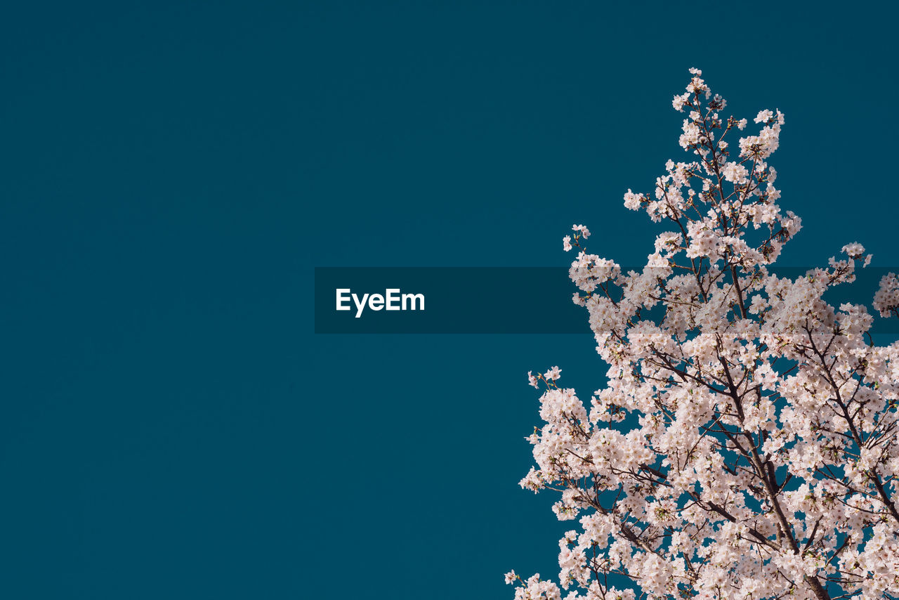 copy space, sky, low angle view, clear sky, fragility, nature, flowering plant, flower, growth, no people, plant, beauty in nature, blue, blossom, springtime, vulnerability, tree, freshness, cherry blossom, day, outdoors, cherry tree
