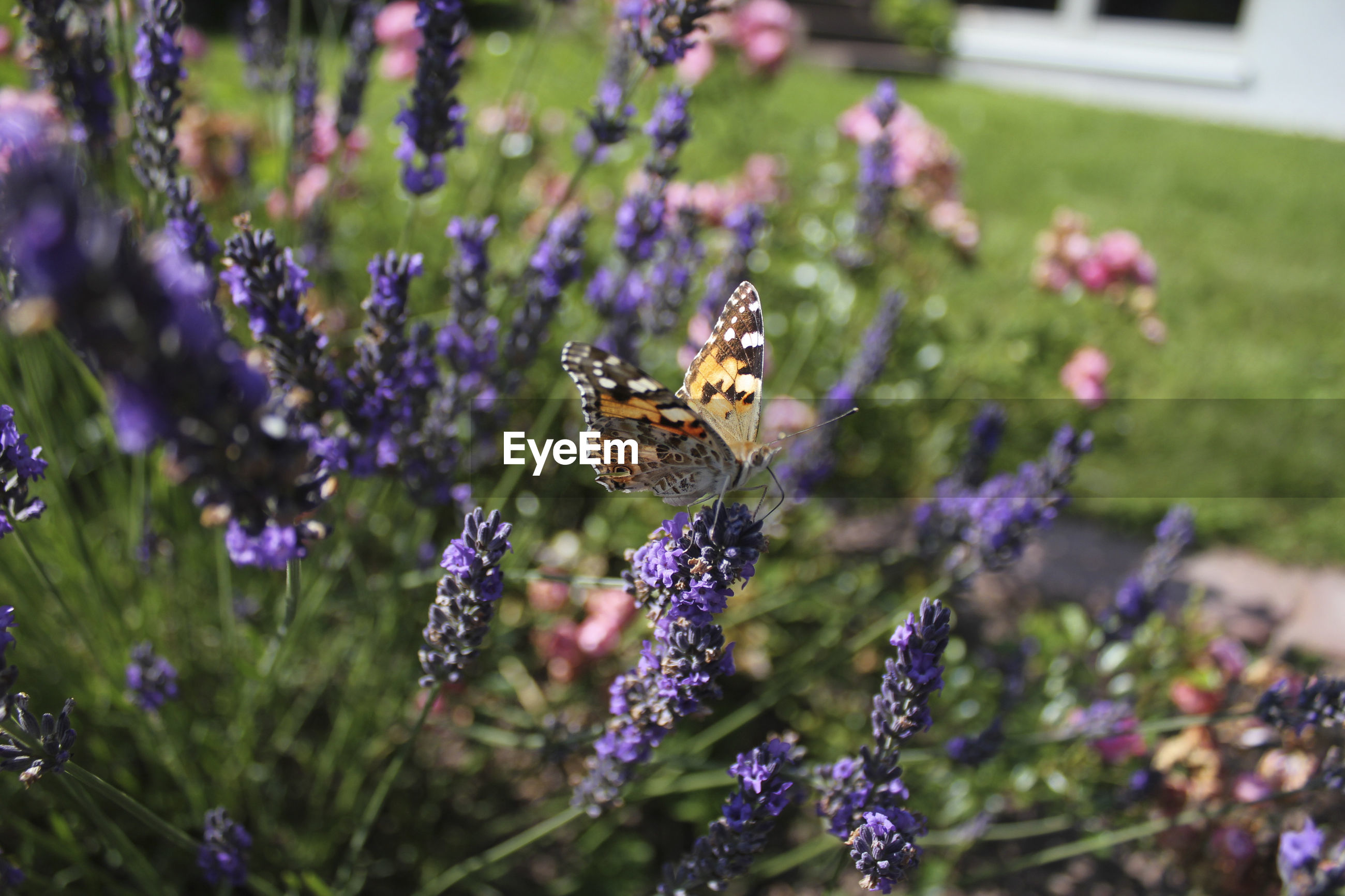 Butterfly on lavender blooming outdoors