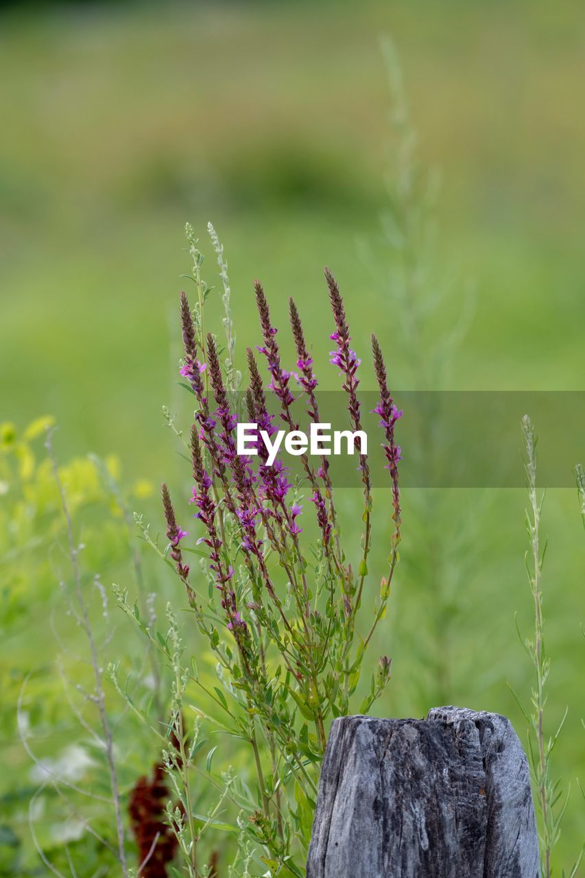 plant, growth, green color, nature, focus on foreground, beauty in nature, day, no people, close-up, fragility, land, vulnerability, flower, tranquility, outdoors, field, flowering plant, leaf, pink color, plant part, purple