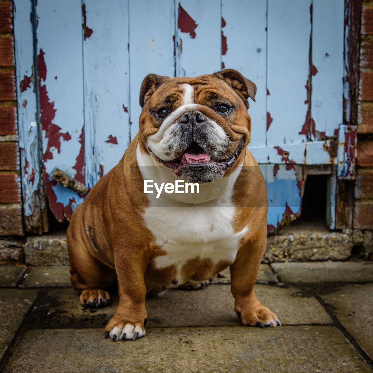 one animal, mammal, canine, pets, dog, domestic, domestic animals, vertebrate, sitting, day, no people, portrait, looking at camera, architecture, facial expression, looking, full length, mouth open