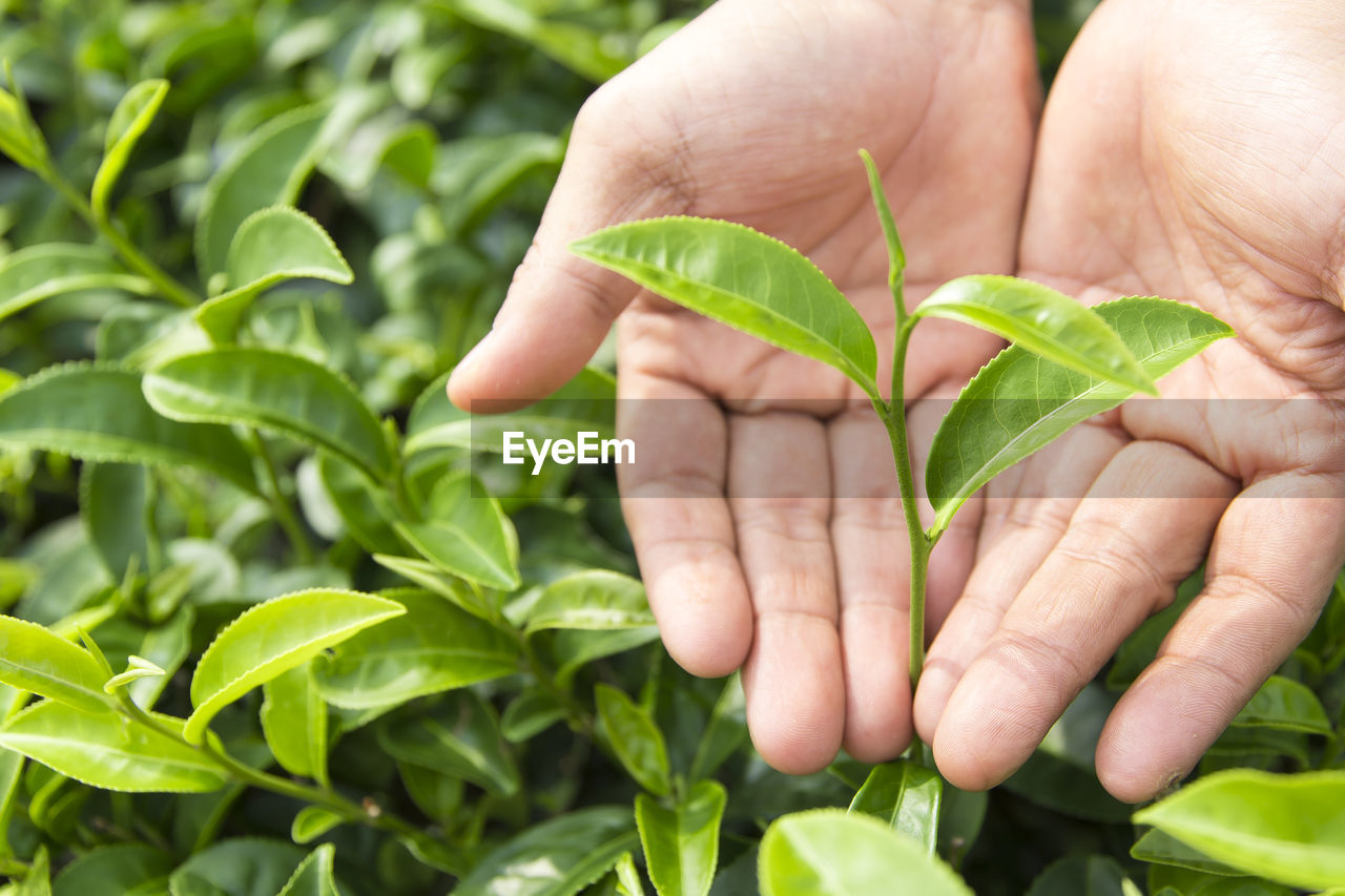 Close-up of hands over tea leaves