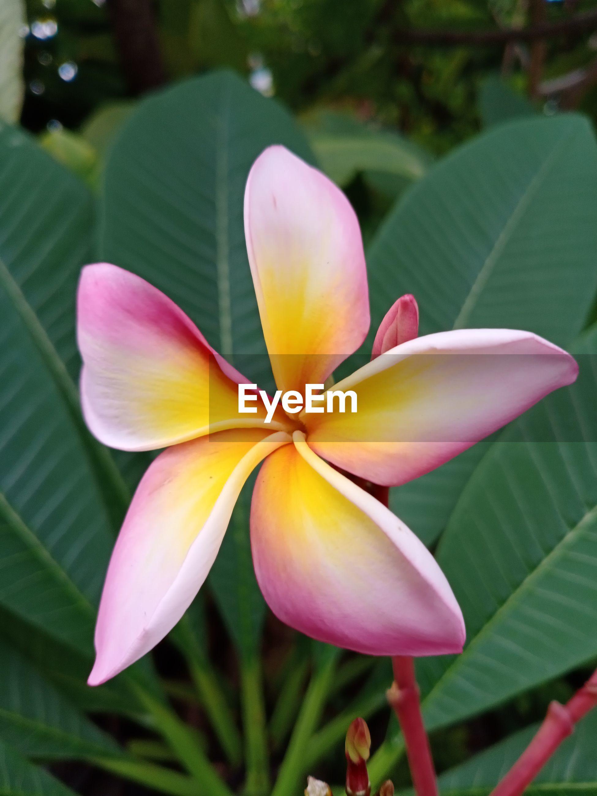 Close-up of pink frangipani on plant