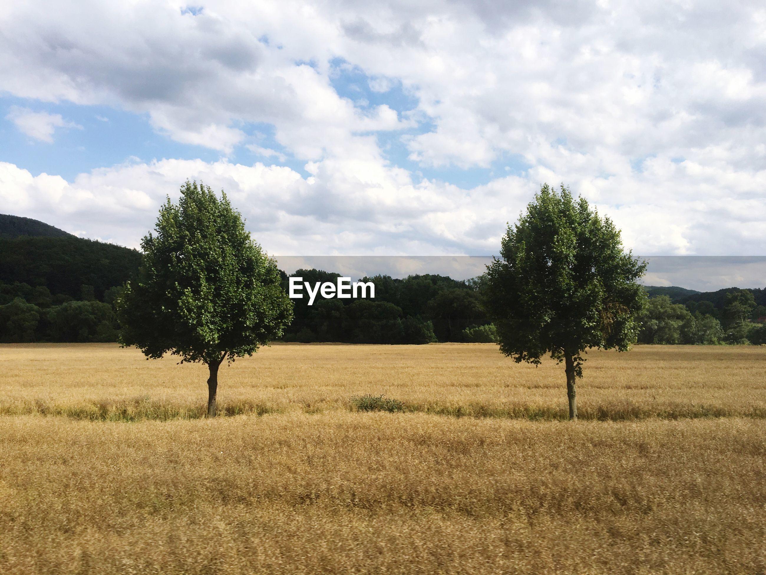 TREES IN FIELD