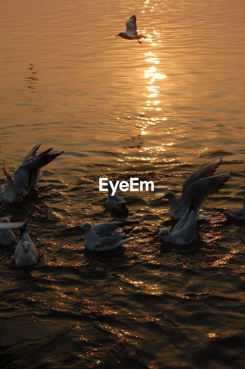 water, group of animals, animal themes, animal, animal wildlife, animals in the wild, bird, vertebrate, sunset, swimming, lake, nature, reflection, waterfront, no people, flying, beauty in nature, swan, duck, outdoors, seagull