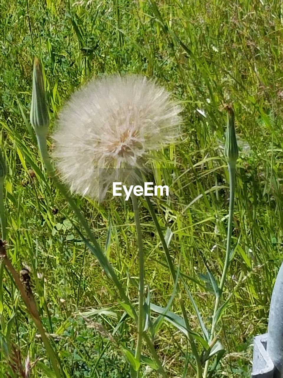 flower, growth, dandelion, nature, fragility, plant, freshness, beauty in nature, softness, white color, wildflower, field, green color, uncultivated, grass, flower head, no people, close-up, day, outdoors