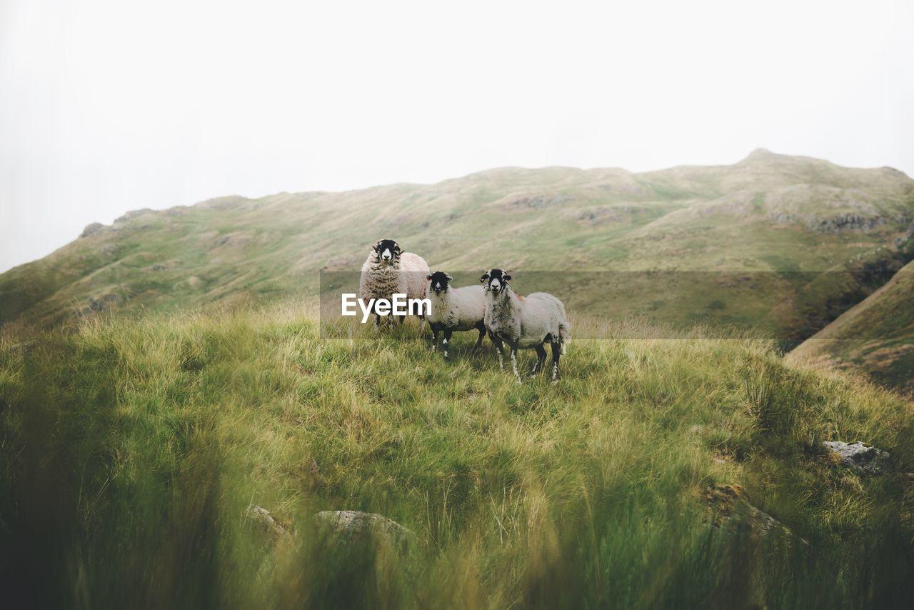 Sheep Standing In Field
