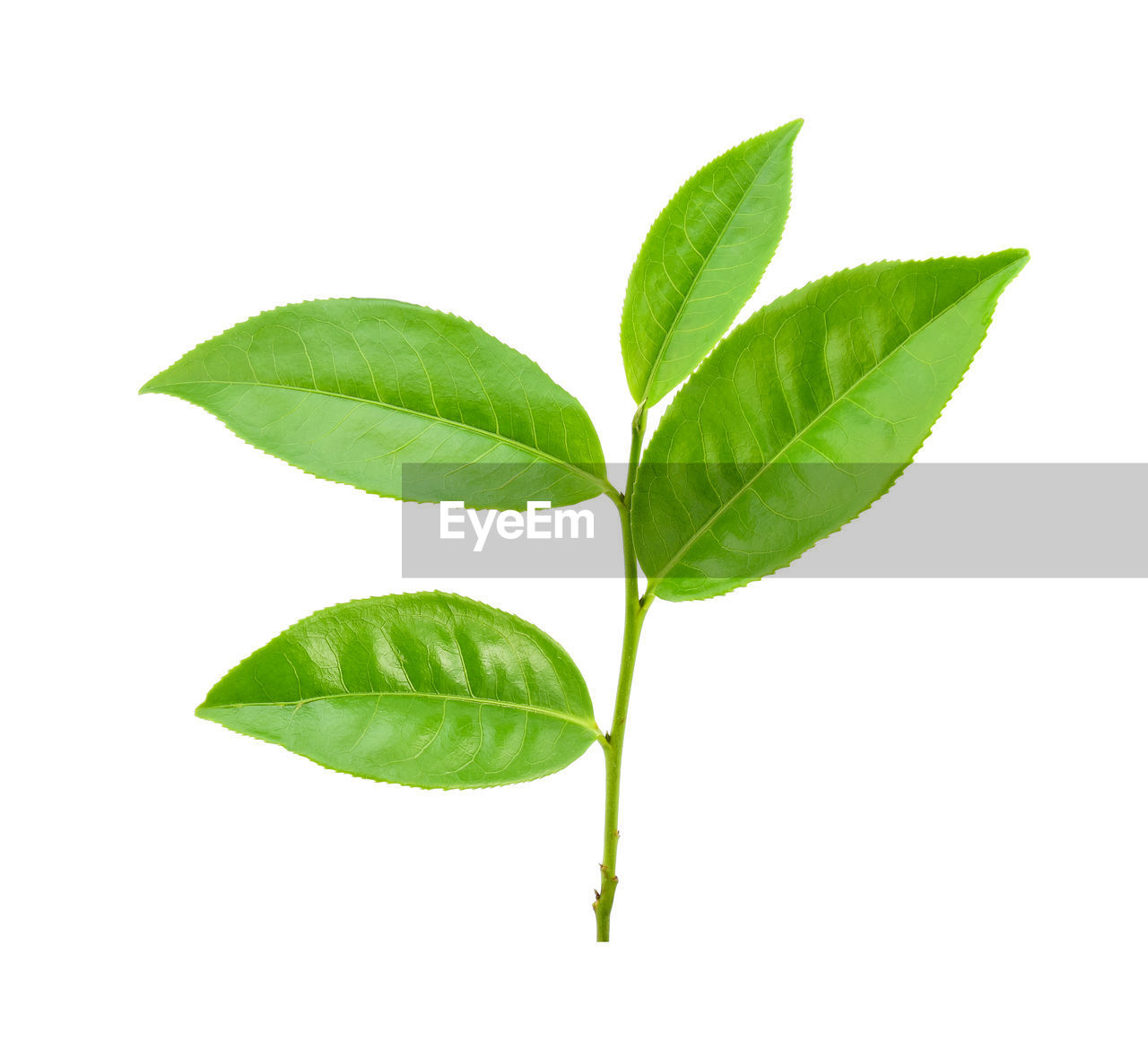 leaf, plant part, cut out, studio shot, white background, green color, plant, nature, close-up, freshness, leaf vein, no people, beauty in nature, herb, indoors, food and drink, food, leaves, herbal medicine, ingredient