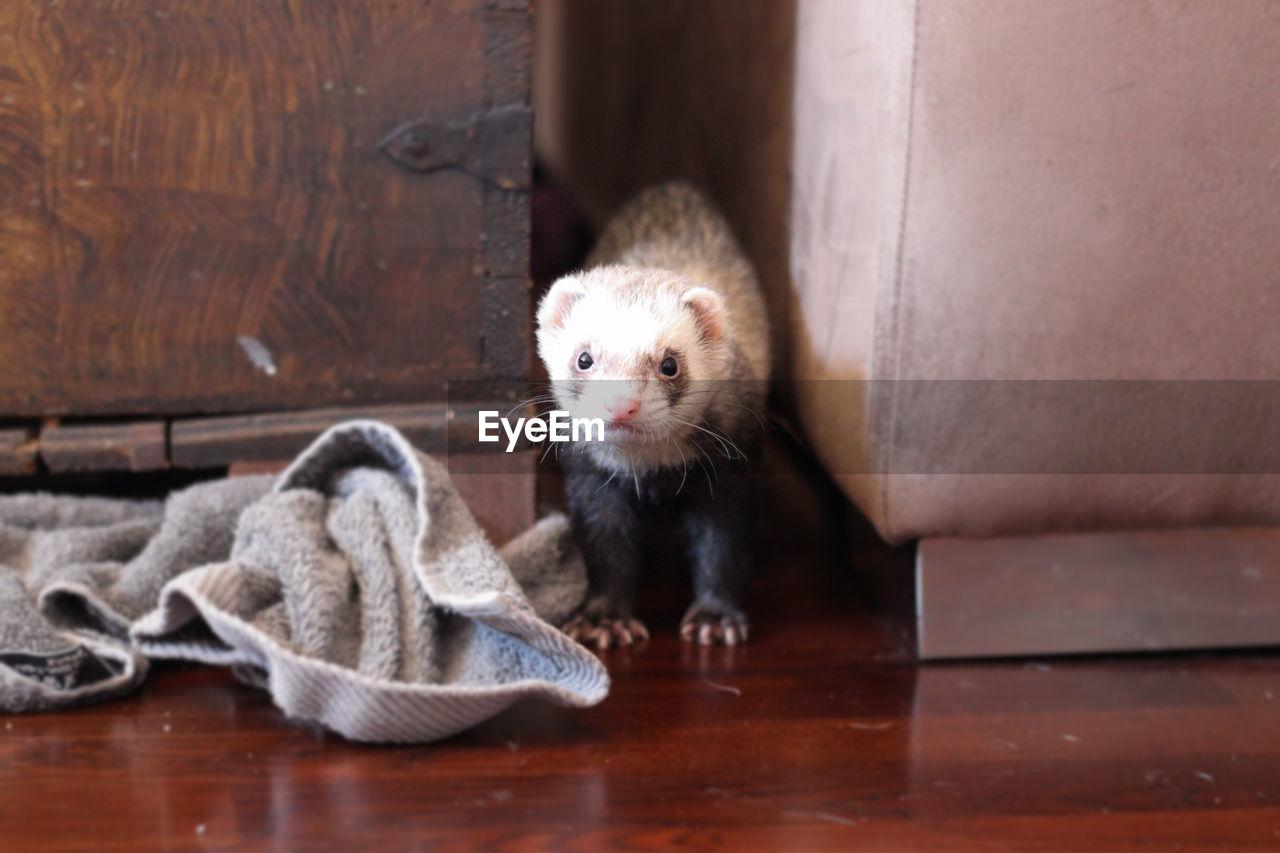 Portrait of ferret on floor