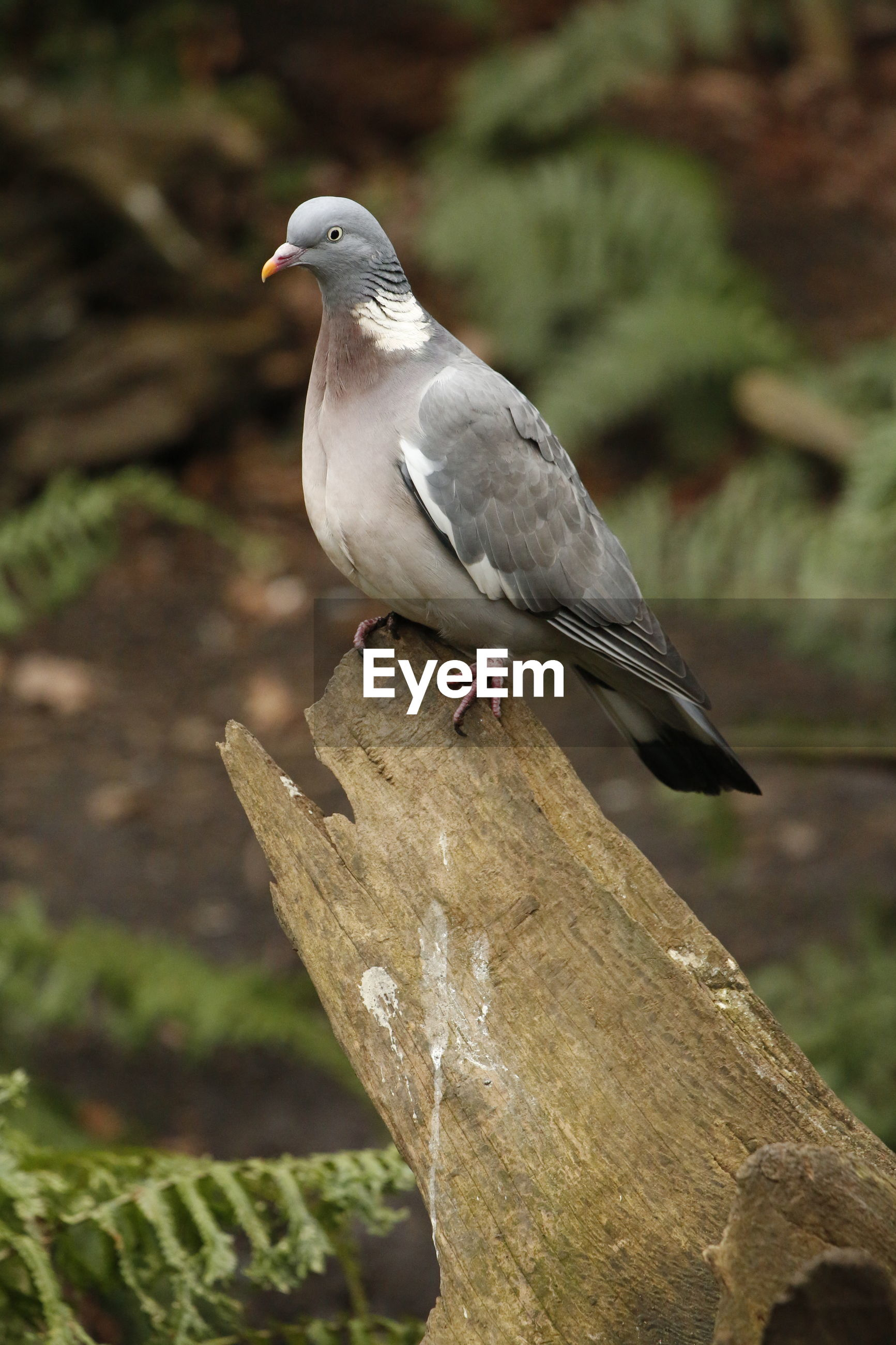Close-up of wood pigeon perching on tree