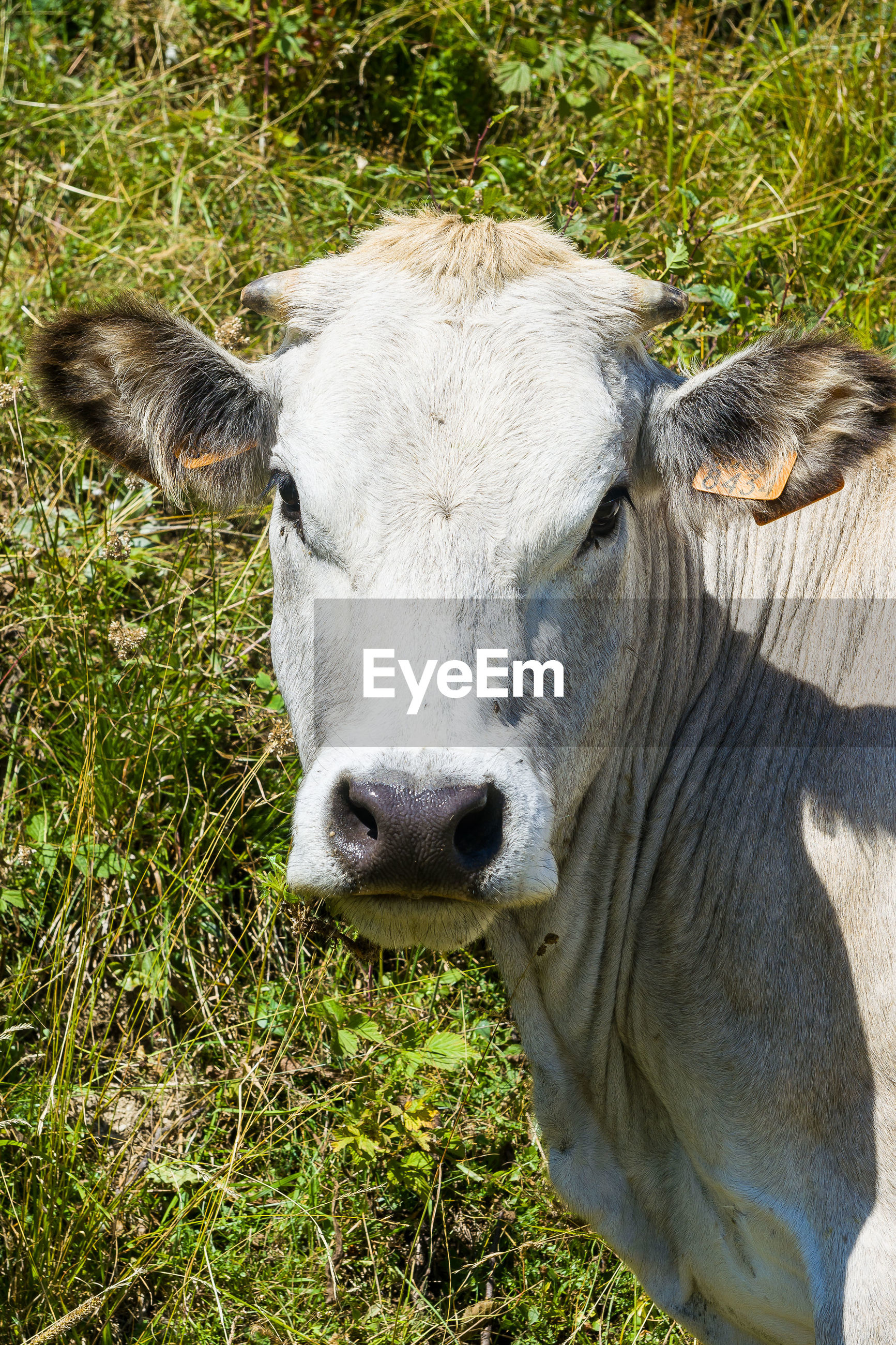 Portrait of cow on field