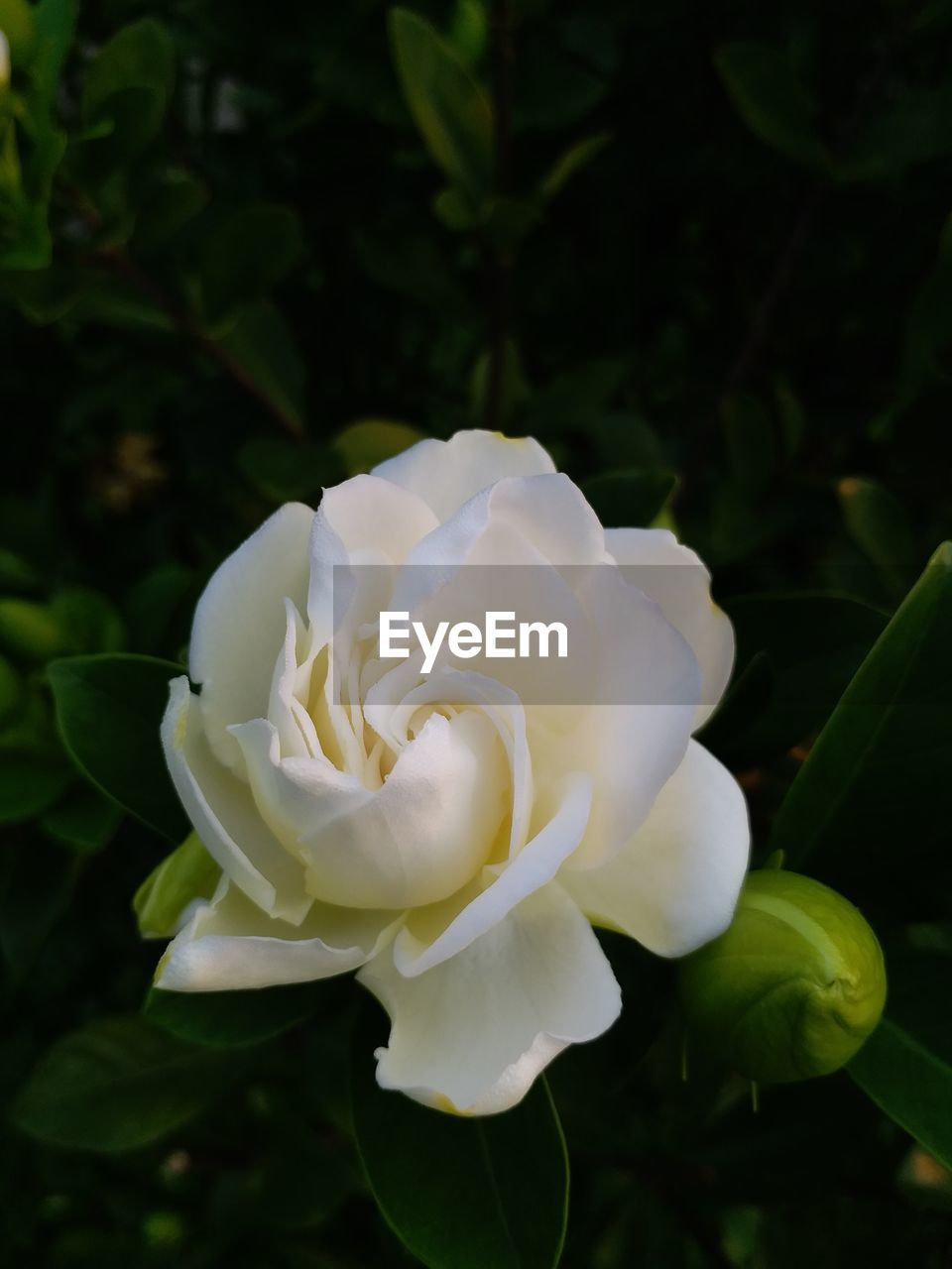 flower, petal, beauty in nature, white color, nature, fragility, flower head, growth, rose - flower, freshness, plant, close-up, no people, day, outdoors, blooming