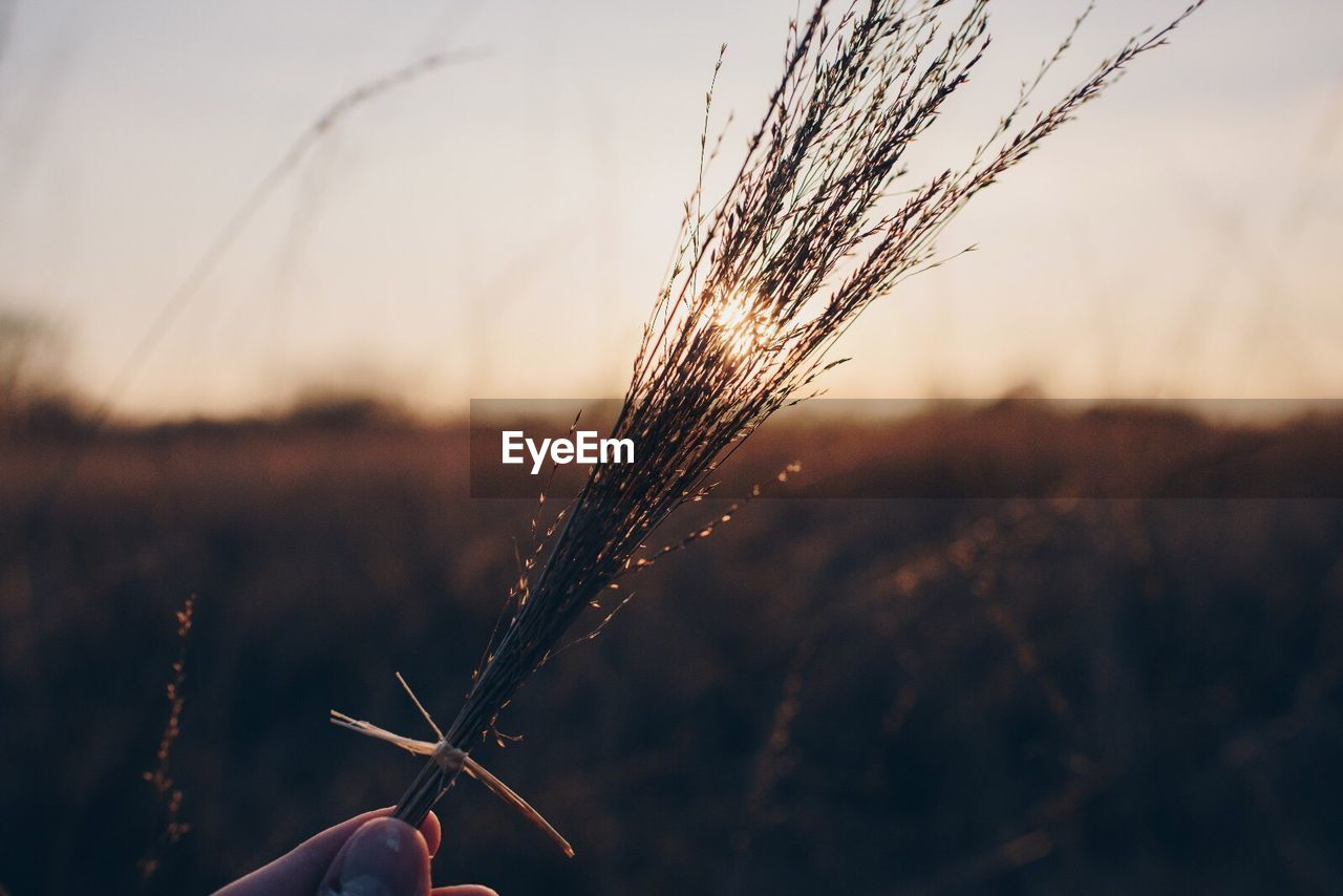 focus on foreground, plant, nature, one person, close-up, sunset, real people, human hand, sky, hand, field, growth, human body part, beauty in nature, outdoors, holding, land, day, cereal plant, unrecognizable person, finger