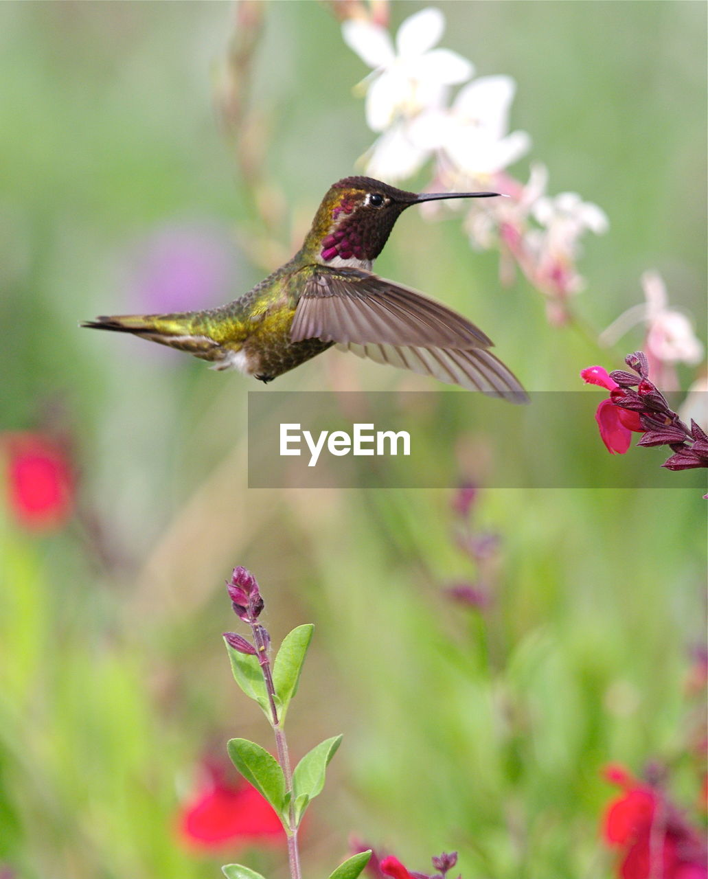 animal themes, animal, flowering plant, flower, plant, animal wildlife, animals in the wild, one animal, bird, flying, vertebrate, hummingbird, beauty in nature, focus on foreground, mid-air, pink color, spread wings, day, close-up, no people, outdoors, flower head, beak, pollination