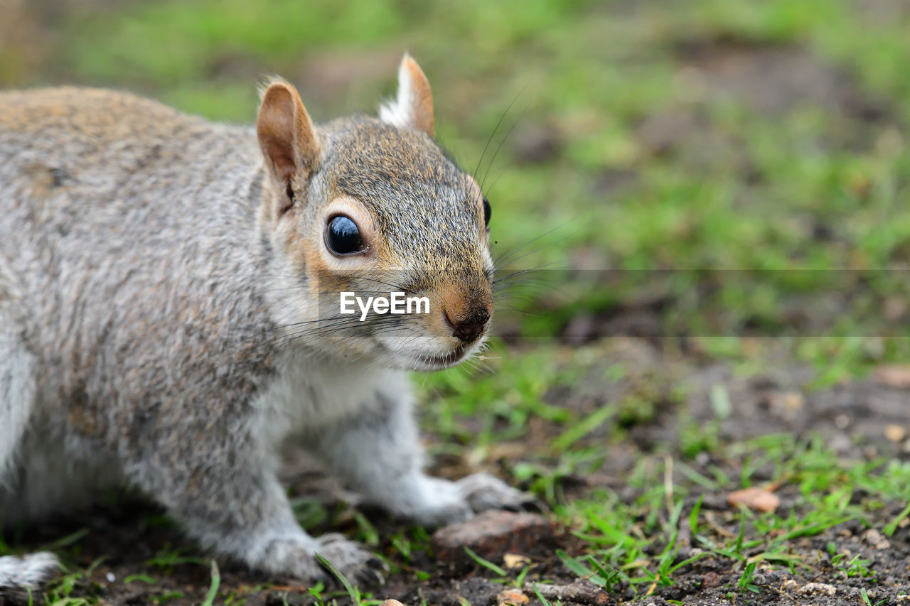 one animal, animal themes, animal, mammal, animal wildlife, rodent, animals in the wild, focus on foreground, vertebrate, close-up, land, no people, squirrel, field, nature, day, outdoors, animal body part, whisker, full length, animal head, herbivorous